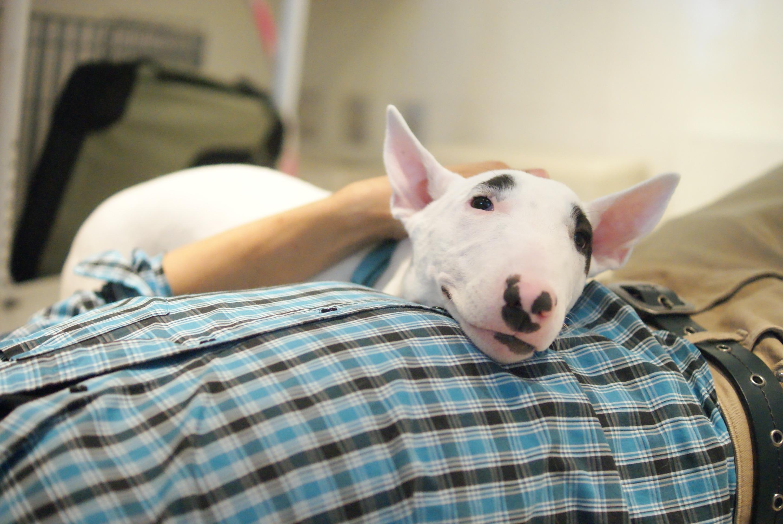 Resultado de imagen para bull terrier  犬 所有者と寝る